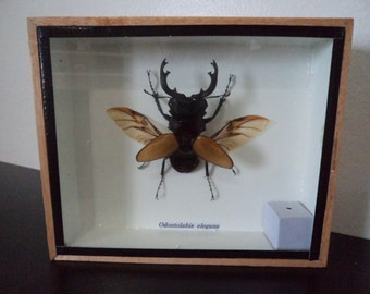 Taxidermy Real Stag Beetle Odontolibis Elgans Beetle Opened Winged Boxed Insect Display Taxidermy Entomology