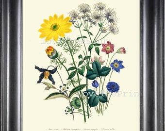BOTANICAL PRINT Loudon Flower  Botanical Art Print 69 Beautiful Blue Antique Flowers Thalictrum Aquilegifolium  Wildlowers Garden