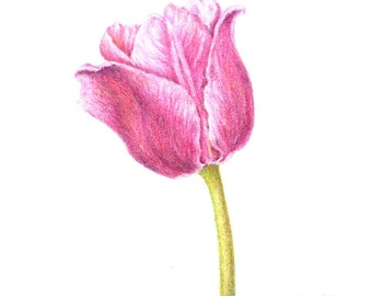Tulipa 'Apple Blossom', tulip, 8 x 10 botanical print, colored pencil