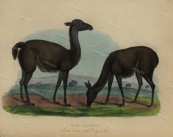 1800's  Original Antique Natural History Hand Colord Print of LLamas -  Wall art- home decor-