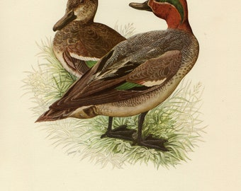 Vintage lithograph of the Eurasian teal or common teal from 1953