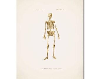 Skeleton,Vintage,Antique Diagram, Anatomy, Wall Art, Wall Decor, Anatomy Art, Medical Anatomy, skelton printable,Anatomy book,Anatomical