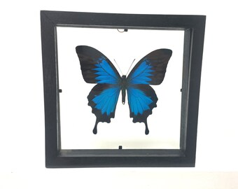 Beautiful Papilio Ulysses Butterfly/Insect/Taxidermy/Lepidoptera.