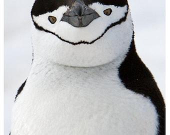 Set of Quantity 5: Chinstrap Penguin Portrait