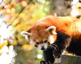 The cuteness of the Panda