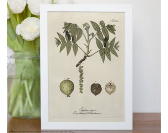 "Vintage illustration of Black Walnut - framed fine art print, botanical art, home decor 8""x10"" ; 11""x14"", FREE SHIPPING - 57"