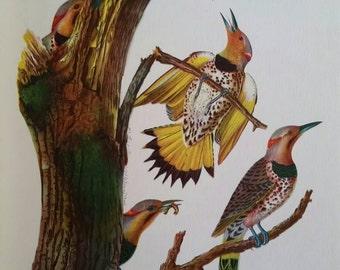 Golden-winged Woodpecker, antique Audubon bird print