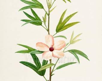 Hibiscus Native Rosella Flower Art Print, Botanical Art Print, Flower Wall Art, Flower Print, Floral Print, Home Decor, white