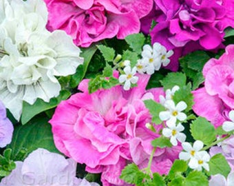 Mixed Double petalled Hanging Petunia Hybrid 200 seeds a must for hanging baskets