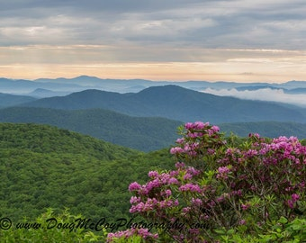 Rhododendron in the Blue Ridge Mountains #1445