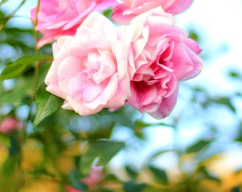Pink Roses - Garden Flower Photo Print - Size 8x10, 5x7, or 4x6
