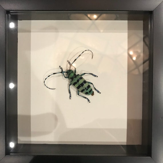 Cute long antenna beetle taxidermy display