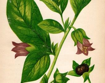 Original 1860 Victorian Flower Plant Print Botanical Chromolithograph Deadly Nightshade
