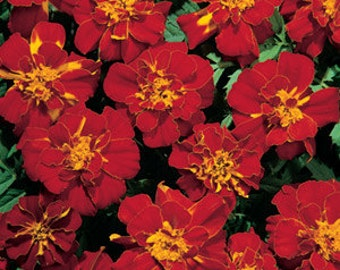 50 Marigold French Durango Red Seeds PLANT SEEDS