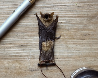 Preserved Indonesia Pipistrelle - one Animal hanging bat