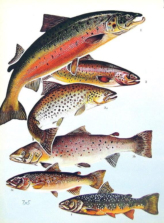 Poisson print saumon de l 39 atlantique la truite - Dessin truite ...