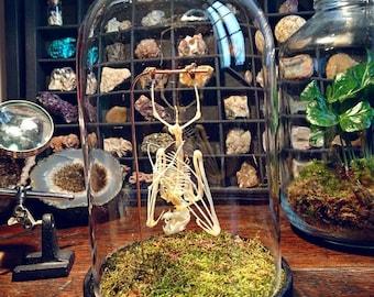 Bat skeleton mounted in Bell Jar taxidermy cabinet of curiosities Eonycteris also oddities