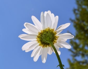 Nature Photography Daisy Photo Signed Print blue Wall Decor