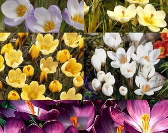 10 Bulbs, Fall Blooming Jumbo Saffron Crocus Sativus Grand Collection 5/+ cm Bulbs Non-Chinese, USDA inspected (US ONLY)