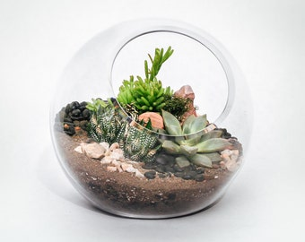 """Succulent Terrarium  - 6"""" Glass Orb Terrarium with Succulent Plants"""