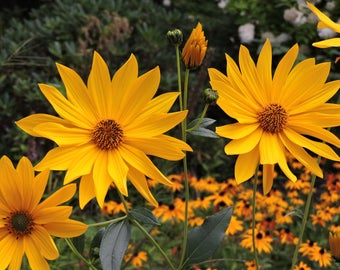 Brown eyed Susan photograph, Brown eyed Susan print