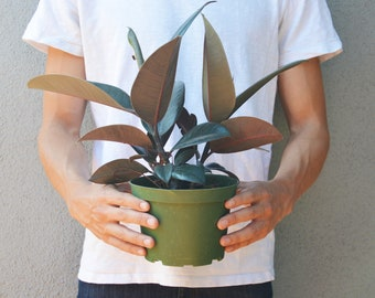 """Ficus Elastica Burgundy Plant - In 6"""" Pot / 'Rubber Plant' / 14""""-18"""" Tall / Live Plant / FREE Care Guide / House Plant / EASY CARE"""