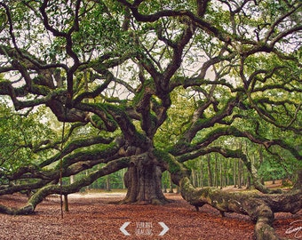 Angel Oak Tree Print, Charleston Photography, Angel Oak Photography Charleston Art, South Carolina Photography, Nature Landscape, Forest Art