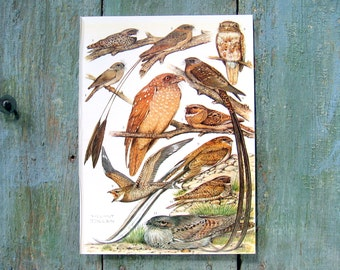Bird Print - Poorwills, Swift - 1968 Vintage Print - from Encyclopedia