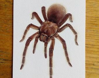 A5 giant postcard - Theraphosa stirmi