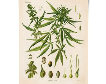 Botanical Cannabis Sativa Diagram Print. Educational Chart Diagram Poster from Kohler's Botanical. Medicinal Plant Guide marijuana - CP247