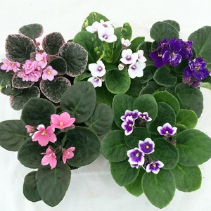 "Hirt's Novelty African Violet - 4"" Clay Pot/Better Growth - Best Blooming Plant"