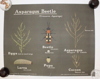Vintage 1950s large poster wall chart British insects beetle entomology antique natural history taxidermy curiosity bugs