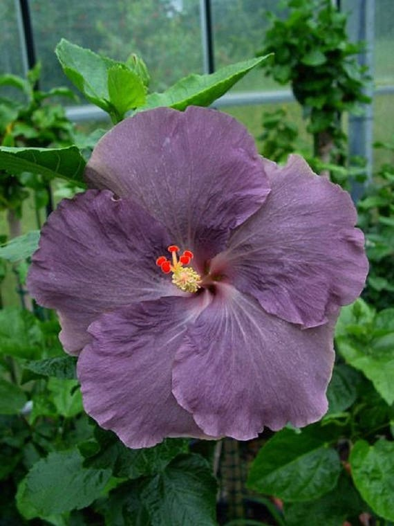 Rare Purple Hibiscus Seeds Giant Dinner Plate Fresh Flower