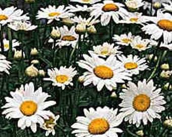 Leucanthemum-Shasta Daisy- Alaska- Live Plant