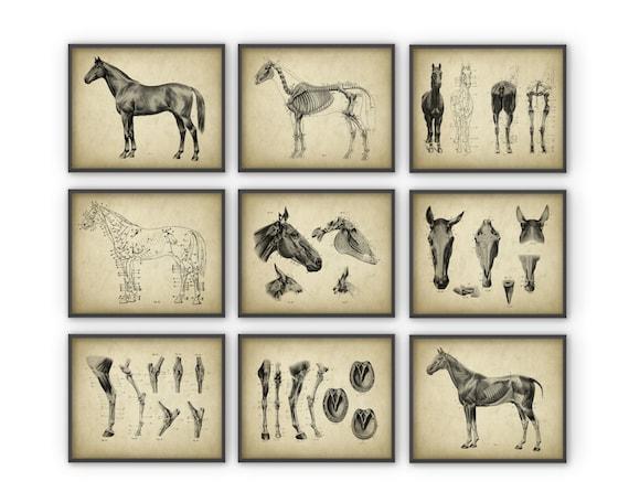 Conjunto de Posters de anatomía caballo de 9 caballo