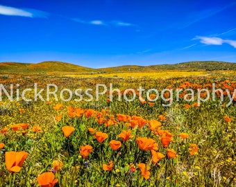 Canvas Print of Poppy Field