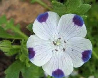 1,000 Five Spot Flower Seeds