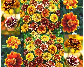 Persian Carpet Mix - Mexican Zinnia - Bicolored Dahlia-like Blooms ZINNIA SEED , Choose from 250 or 15,000