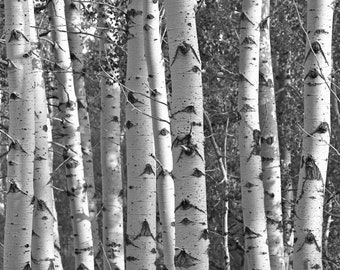 Birch Forest Art Print, Nature Photography Forest Black and White Aspen Tree Woodland Wall Art Wall Decor Zen Montana