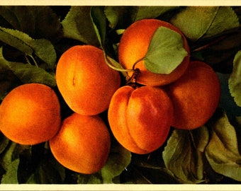 Flower, Orange, Apricot, Fruit, Swiss Printed, Fine Quality, Vintage Postcard TOP417696
