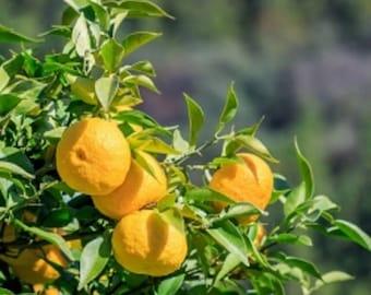yuzu Citrus junos 5 seeds