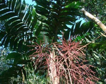 Geonoma interrupta Palm 10 seeds
