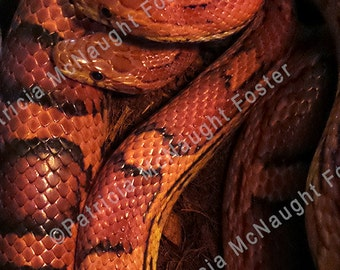 001 Red Okeetee Corn Snakes 8x10 Stock Photo Download
