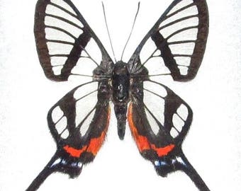 ONE real butterfly clear glass wing chorinea sylphinia peru