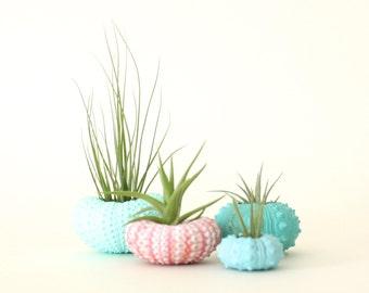 Teeny Tiny Air Plant Urchin Planter Set with Air Plants  -  Aqua, Pink, Blues & Greens.