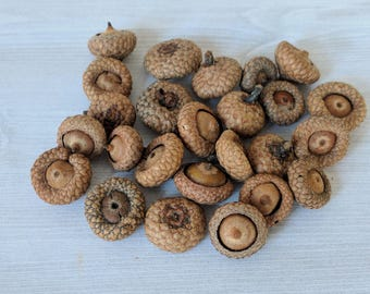 Acorns Real Natural Acorns Rustic Decor Thanksgiving Floral Craft Holiday Centerpiece Early Season Young Acorns Flat Acorns - 25