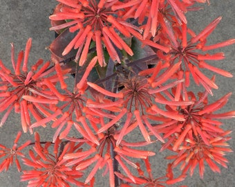 Coral Aloe HYBRID Aloe Striata various sizes, rooted plant NASA Approved to clean air in home and office