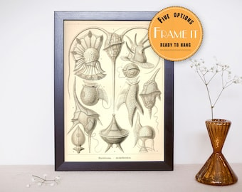 "Vintage illustration from Ernst Haeckel  - framed fine art print, sea creatures,sea life, home decor 8""x10"" ; 11""x14"", FREE SHIPPING - 292"