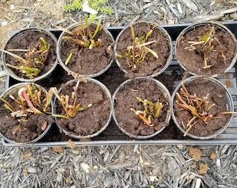 Large Mixed Sarracenia Pitcher Plant