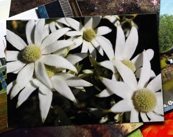 Flannel Flower Australia Postcard